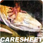Caresheet - Leopard Geckos