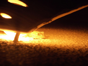 Gecko Light
