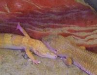 Sleeping Gecko