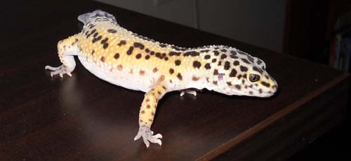 Buying A Leopard Gecko?