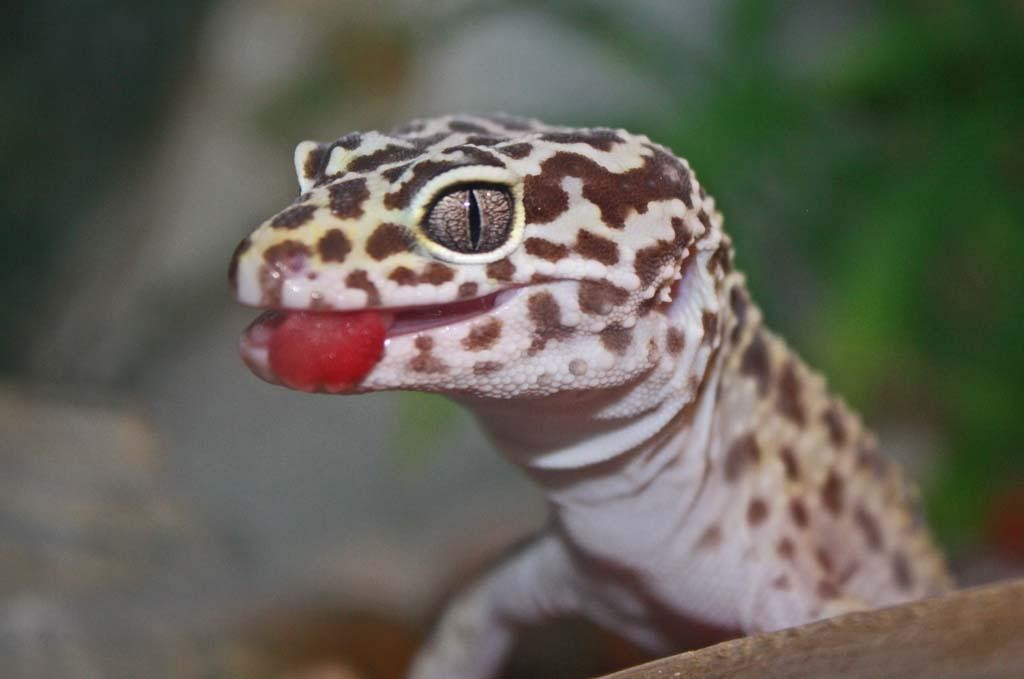 The Ultimate Leopard Gecko Care Sheet | LeopardGeckoLand com