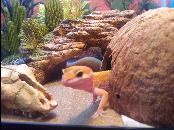 Your First Leopard Gecko?
