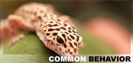 Leopard Geckos Amp Their Behavior