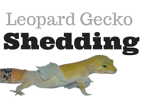 Leopard Gecko Shedding Problems?