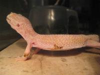 Leopard Gecko Burn