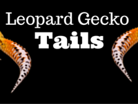 Leopard Gecko Tails