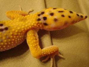 Leopard Gecko New Tail