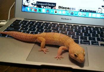 Leopard Gecko On My Laptop
