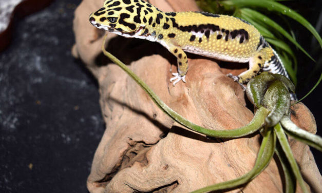 Best Tank For Your Leopard Gecko